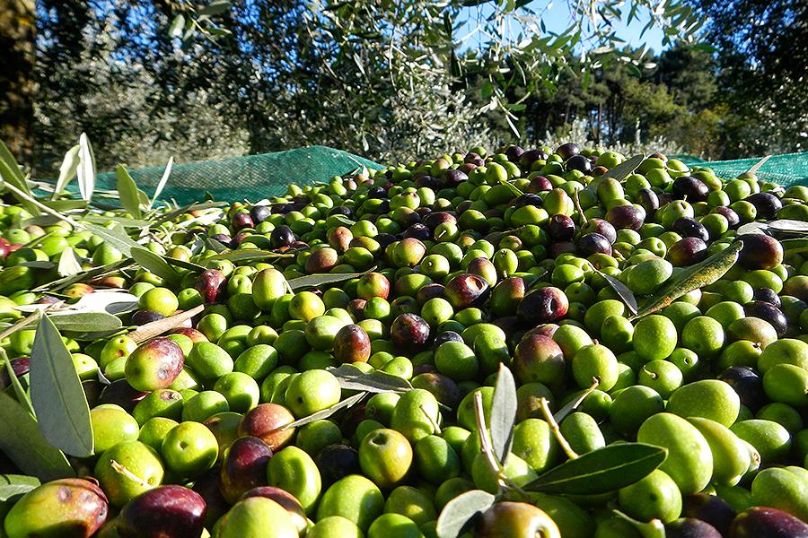 raccoglitore-olive-ott
